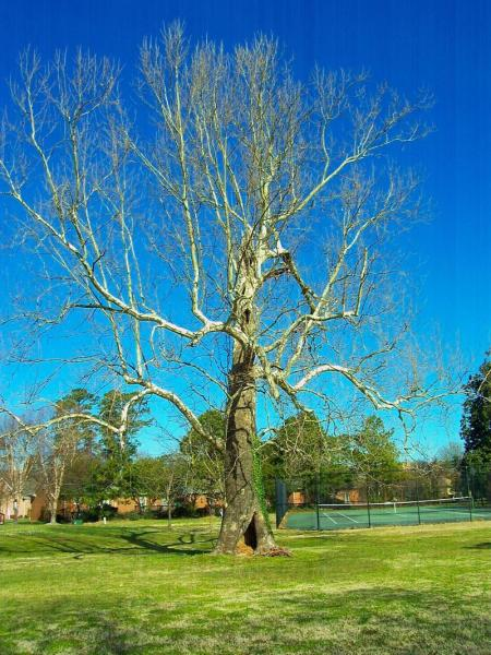 ferry_plantation_sycamore.jpg